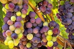 Uvas de vino listas para la cosecha Imágenes de archivo libres de regalías