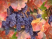 Uvas de vino listas para la cosecha Foto de archivo libre de regalías