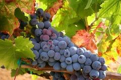 Uvas de vino maduras foto de archivo libre de regalías