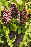 Uvas de vino negras fotografía de archivo