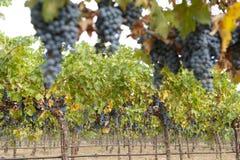 Uvas de vino orgánicas colgantes, California Foto de archivo libre de regalías