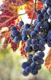Uvas de vino púrpuras Foto de archivo libre de regalías
