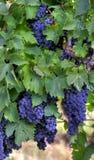 Uvas de vino púrpuras Imagen de archivo