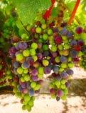 Uvas de vino púrpuras y verdes Foto de archivo