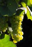 Uvas de vino que brillan intensamente Fotografía de archivo libre de regalías