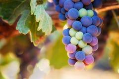Uvas de vino que maduran Fotografía de archivo