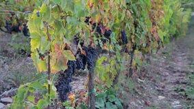 Uvas de vino que maduran en las filas largas de las ramas de vides almacen de video