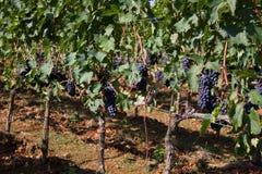 Uvas de vino que toman el sol en el sol Foto de archivo