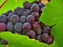 Uvas de vino rojas y verdes Fotos de archivo libres de regalías
