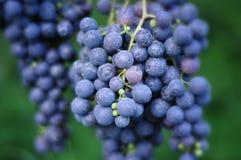 Uvas de vino rojo foto de archivo libre de regalías