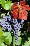 Uvas de vino rojo Fotos de archivo