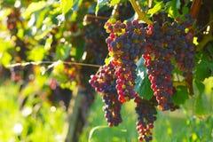Uvas de vino rojo Imágenes de archivo libres de regalías