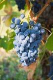Uvas de vino rojo Fotos de archivo libres de regalías