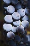 Uvas de vino rojo Foto de archivo
