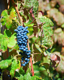 Uvas de vino rojo del corral Rotie imagen de archivo libre de regalías