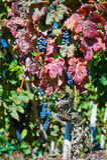 Uvas de vino rojo del corral Rotie Foto de archivo