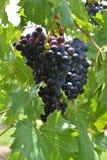 Uvas de vino rojo en la luz del sol Fotos de archivo