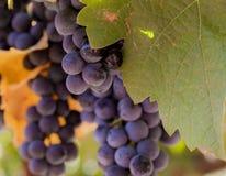 Uvas de vino rojo en la macro de la vid Fotografía de archivo libre de regalías