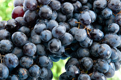 Uvas de vino rojo en la rama Imágenes de archivo libres de regalías