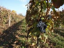 Uvas de vino rojo en la vid Foto de archivo libre de regalías