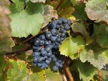 Uvas de vino rojo en la vid Imágenes de archivo libres de regalías