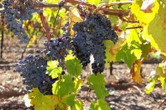 Uvas de vino rojo en vid foto de archivo