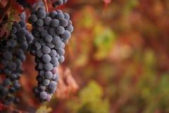 Uvas de vino rojo en vid del otoño Imagenes de archivo