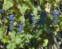 Uvas de vino rojo para la cosecha fotos de archivo