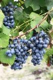 Uvas de vino rojo que brillan intensamente Fotos de archivo