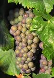 Uvas de vino sabrosas imágenes de archivo libres de regalías