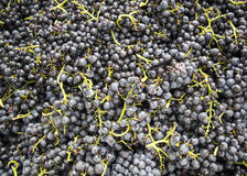 Uvas de vino sabrosas antes de la cosecha Imagen de archivo