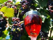 Uvas de vino sabrosas antes de la cosecha Imágenes de archivo libres de regalías