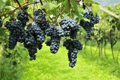 Uvas de vino sabrosas antes de la cosecha imagen de archivo libre de regalías
