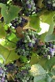 Uvas de vino sabrosas antes de la cosecha Foto de archivo