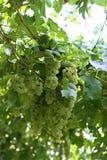 Uvas de vino sabrosas antes de la cosecha Fotografía de archivo libre de regalías