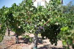 Uvas de vino sabrosas antes de la cosecha Fotografía de archivo