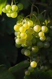 Uvas de vino sabrosas en luz del sol Fotografía de archivo