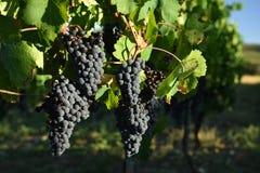 Uvas de vino, Toscana, Italia imagenes de archivo