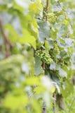 Uvas de vino verdes Fotos de archivo libres de regalías