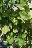 Uvas de vino verdes frescas Imagen de archivo