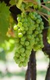 Uvas de vino verdes que brillan intensamente Imagen de archivo