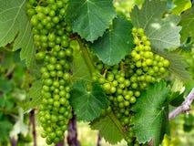 Uvas de vino verdes que se hinchan en la vid Fotografía de archivo