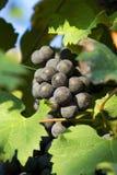 Uvas de vino violetas Fotos de archivo libres de regalías