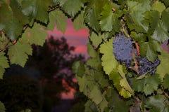 Uvas de Zinfandel Foto de Stock Royalty Free