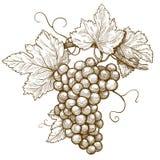 Uvas del grabado en la rama en el fondo blanco libre illustration