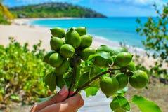 Uvas del mar en playa tropical Foto de archivo libre de regalías