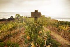 Uvas del Merlot en el viñedo fotografía de archivo