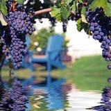 Uvas del Merlot en el viñedo que refleja en agua Foto de archivo libre de regalías