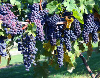 Uvas del Merlot en viñedo imagenes de archivo