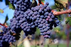 Uvas del Merlot en viñedo imagen de archivo libre de regalías